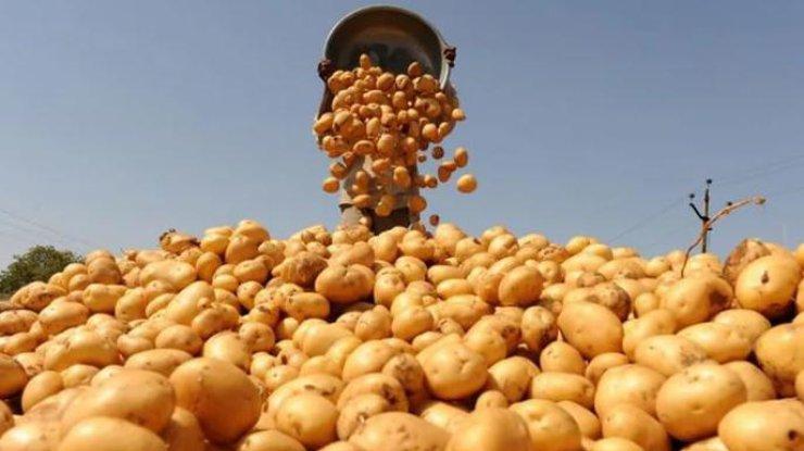 Украина вошла в мировые лидеры по урожаю картофеля