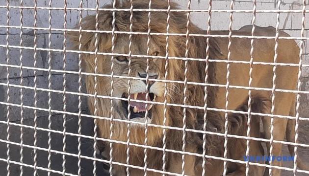Конфискованным львам и медведям ищут новый дом через СЕТАМ