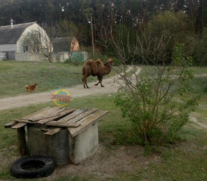 На Харьковщине по улицам разгуливал верблюд (ФОТО, ВИДЕО)