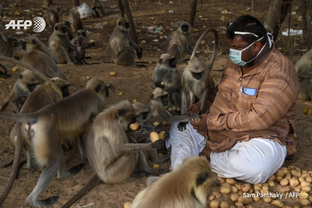 В Индии обезьяны голодают из-за карантина (ФОТО)