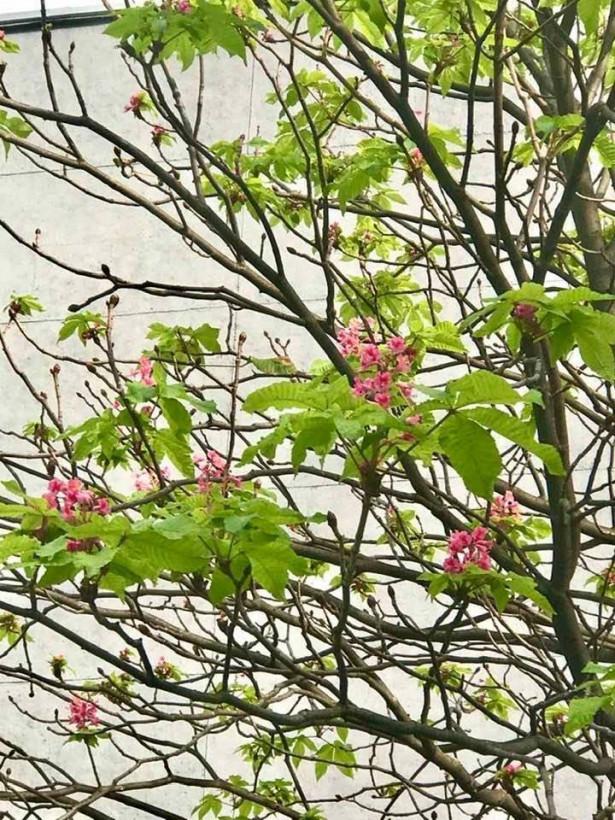 «Зима отменяется»: в столице заметили цветущие каштаны (ФОТО)