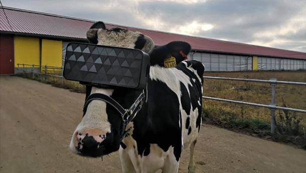 «Надои обязательно повысятся»: На российских коровах начали тестировать очки виртуальной реальности (ФОТО)
