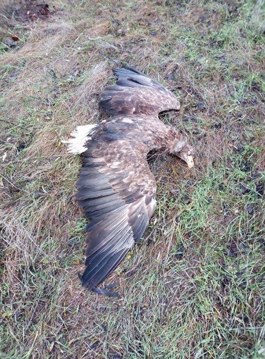 «Штраф 112 тысяч гривен»: на Николаевщине неизвестные застрелили краснокнижного орла (ФОТО)